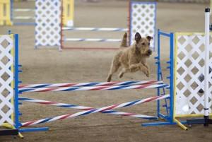 Sports | Agility canine